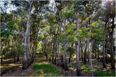La plantation d'hévéa de Kaliklatak